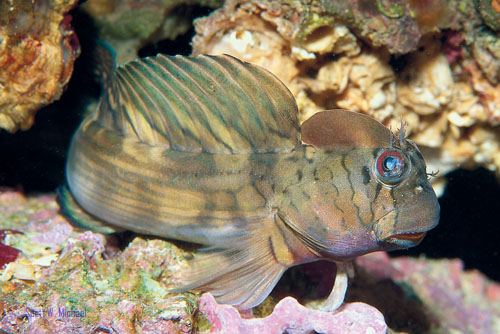 Lined rockskipper blenny